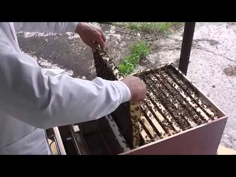 Eliberam matci tinere in familii de albine - Bio Stupul folosit la inmultire - Apicultura incepatori