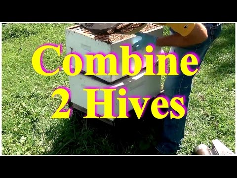 David Burns, 60 Sec Beekeeper, Episode 10 - Combining Two Hives