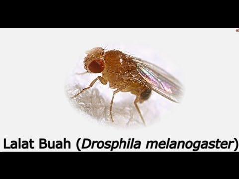 Cara Menangkap Lalat Buah (Drosophila Melanogaster)