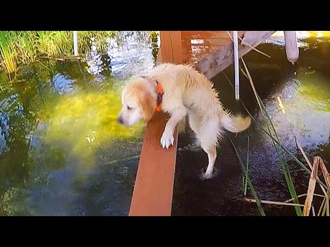 Trolling Cooper - Episode 1 - Fall in Lake Fail (Golden Retriever Puppy)
