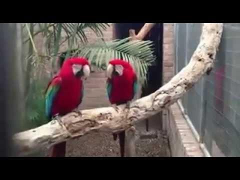 2 papagali care danseaza pe hip hop