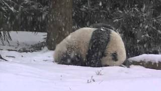 Cute Giant Panda´s First Snow Day!