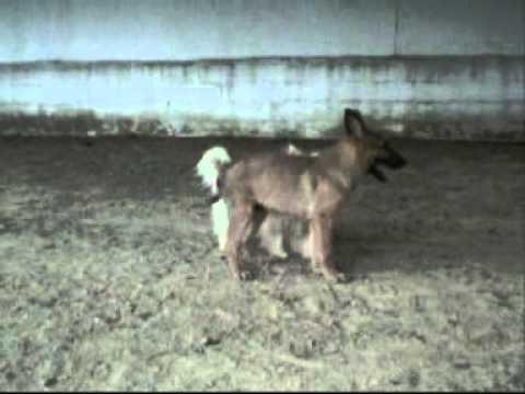 Inhibición de la mordida - un cachorro jugando con un perro adulto