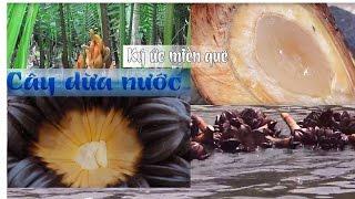 Ký ức miền quê | Cây dừa nước | THKG