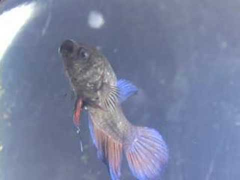 Part1 betta fish sick with velvet and columnaris youtube for Cotton wool disease in fish
