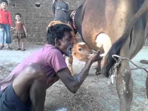 Man drinking milk from breast