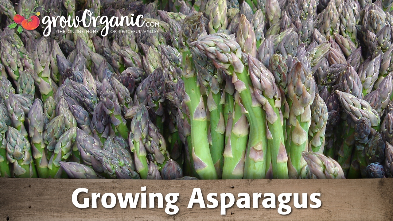 how to grow asparagus in ohio