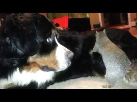 Squirrel hides nuts in a Bernese Mountain dog\'s fur