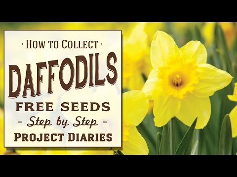 ★ How to: Collect Free Daffodil Seeds (Step by Step Guide)