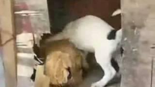כלב חרמן על תרנגולת