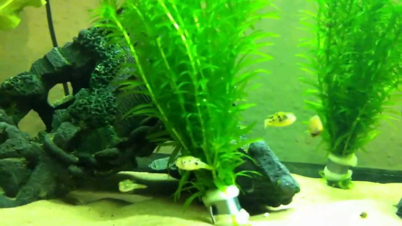Dwarf puffer tank set up youtube for Puffer fish aquarium