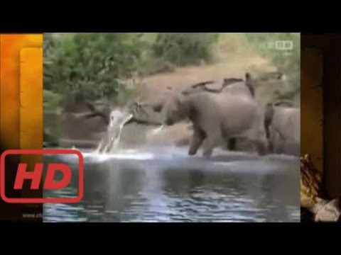 animal attacks Crocodile Attacks Elephant  #RAA
