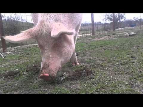 Cerdos disfrutan en Santuario Wings of Heart