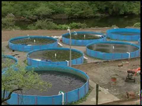 Cria de tilapias en jaulas flotantes primera for Criaderos de pescados colombia