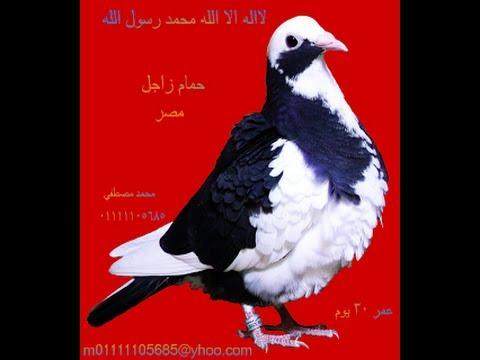 حمام زاجل محمد مصطفي  زاجل مصر