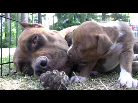 Pit Bull Growls and Snaps at Her Puppies! (in HD)