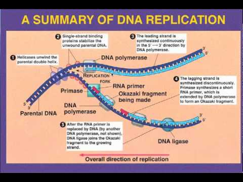 Leading vs  Lagging Strand- DNA Replication