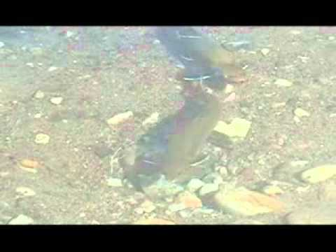 Fraie de truite de mer 2007