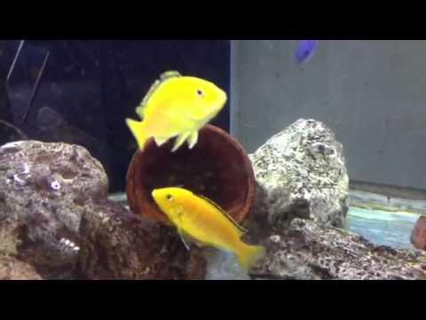 My yellow labs(cichlids) breeding
