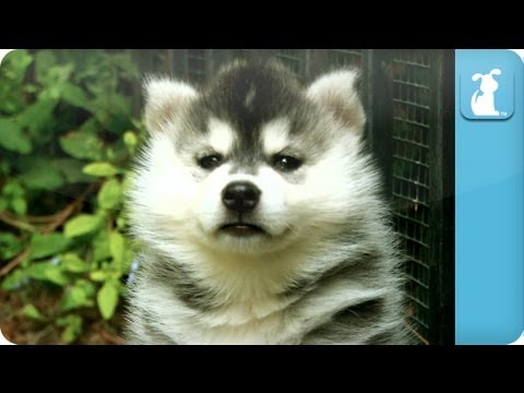 Siberian Husky Puppies - Puppy Love