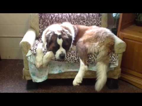 Obedience Training Springfield Mo Why Do Dogs Lick Feet