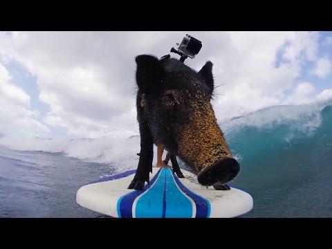 Kama: поросенок-серфер