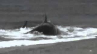Guy Eaten By Killer Whale On The Shore