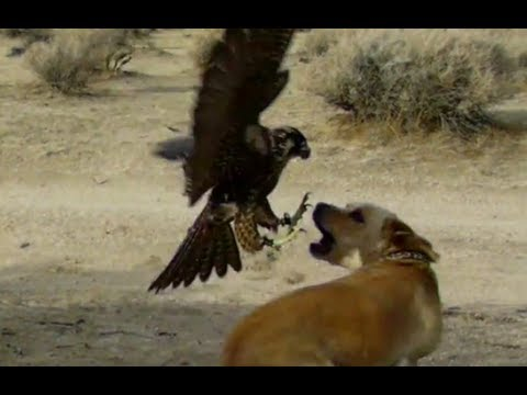 Falcon Attacks Dog!!!