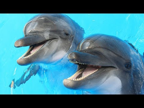Dolphins Get High On Pufferfish | Don't Try At Home