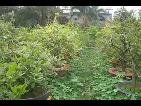 Vườn Mai Minh Phương ( Kỹ thuật cây Mai vàng )