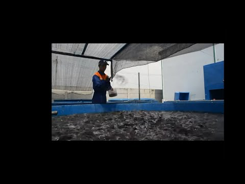 Hình ảnh trong video Lele & Patin by Biofloc 165 Center Depok