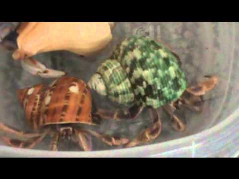 Hermit Crab Bathing