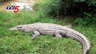 Crocodiles face Difficult Conditions in Manjira River