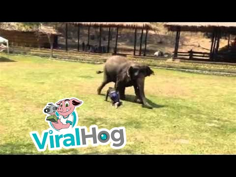 Што прават слоновите кога некој ќе ги нападне нивните пријатели?