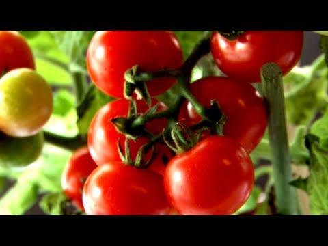 Planter des tomates en ville