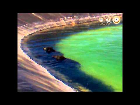 انتحار جماعي للخنزير البري بإقليم تيزنيت