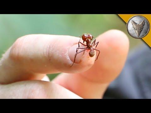"""Авантуристот дозволи да го касне мравката наречена """"сечач на листови"""""""