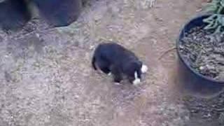 Great Dane American Bulldog