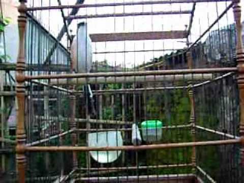 burung cendet WMV V9