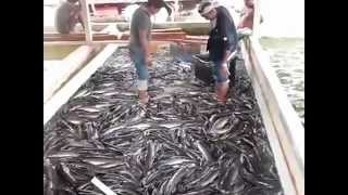 Peluang Usaha Budidaya Ikan Lele Trenak Lele .mp4