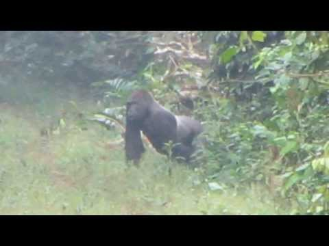 Western lowland Gorilla in Lobeke National Park
