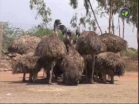 Emu Bird Farming - An Introduction (Kannada)