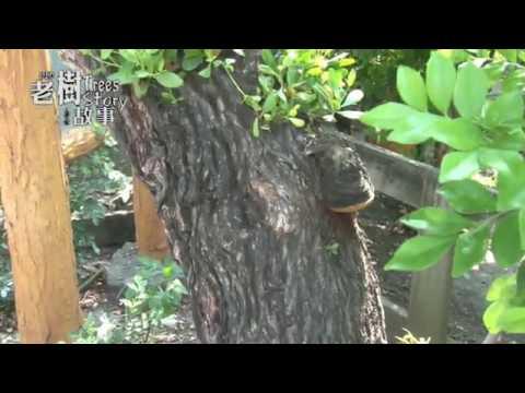 高雄市8棵百年老樹故事-欖李(影片長度:3分11秒)