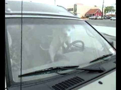Impatient Dog Uses Car Horn!