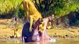 Dead Hippo Explodes And Sh*ts On A Lioness Latest