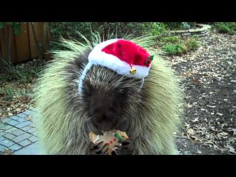 Teddy, the talking porcupine, wishes you a Merry Christmas!