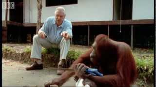 David Attenborough: Orangutans