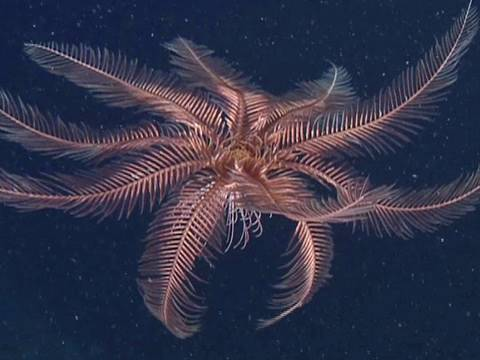 Feather Stars and Sea Lilies