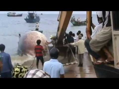 Lagi.vn Lễ mai táng Cá Ông - whales stranded in Vietnam
