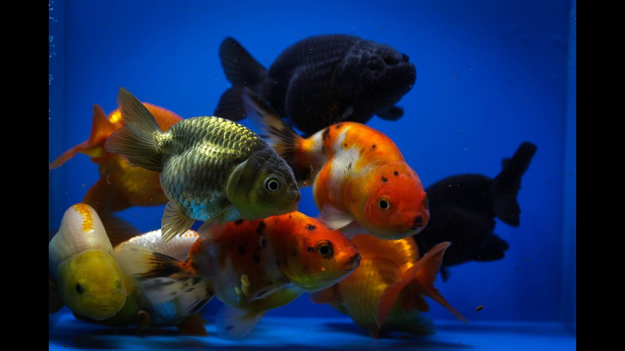 Ranchu goldfish for sale fb107 fb116 youtube for Gold fish for sale